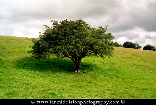 Fairy Tree at the Hill of Tara in County Meath, Ireland.