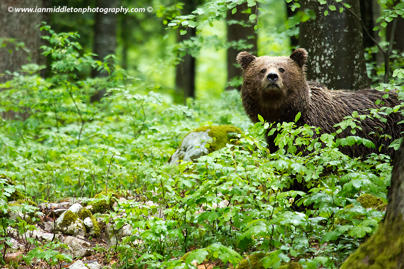 Adult Brown Bear in the forest in Slovenia.